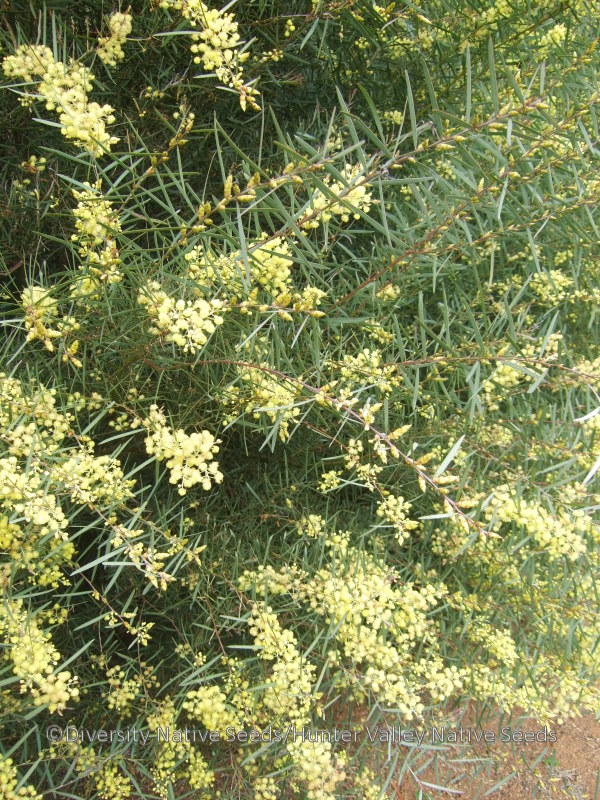Acacia Iteaphylla Flinders Ranges Wattle Diversity Native Seeds