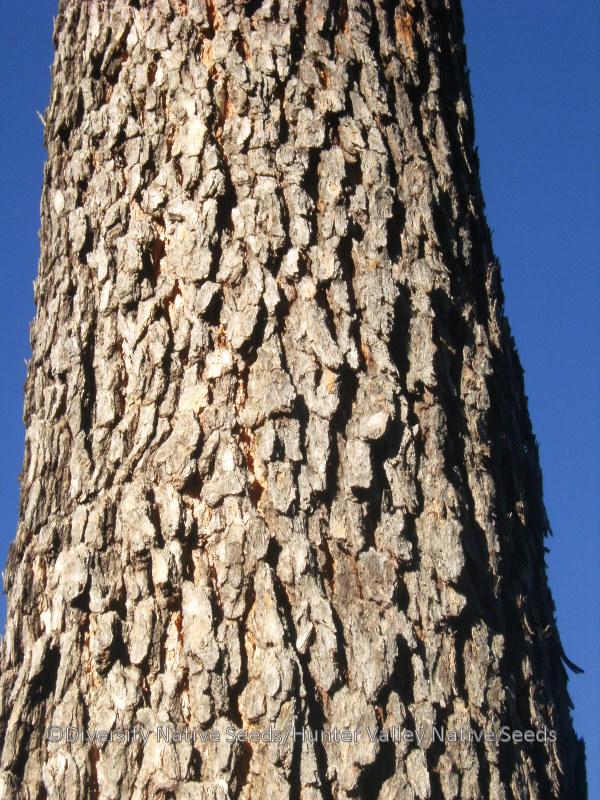 Corymbia Trachyphloia Syn Eucalyptus Trachyphloia