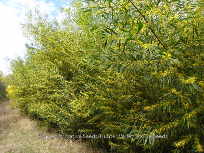 Acacia Longifolia Sydney Golden Wattle Diversity Native Seeds