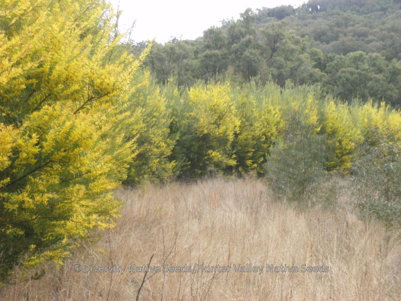 Acacia Rubida Red Stem Wattle Diversity Native Seeds