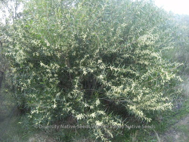 Acacia floribunda. white sallow wattle - Diversity Native ...