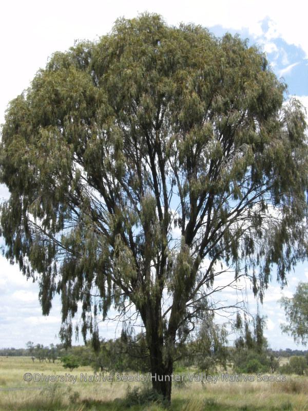 Acacia Pendula Weeping Myall Diversity Native Seeds