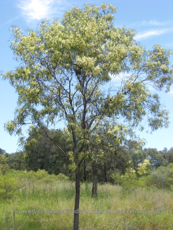 Acacia implexa. lightwood - Diversity Native Seeds