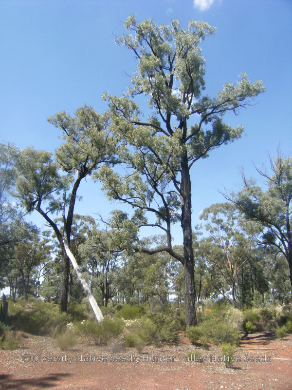 Eucalyptus crebra. narrow-leaved ironbark - Diversity ...