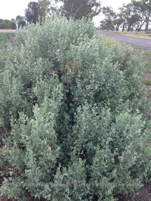 bush oldman