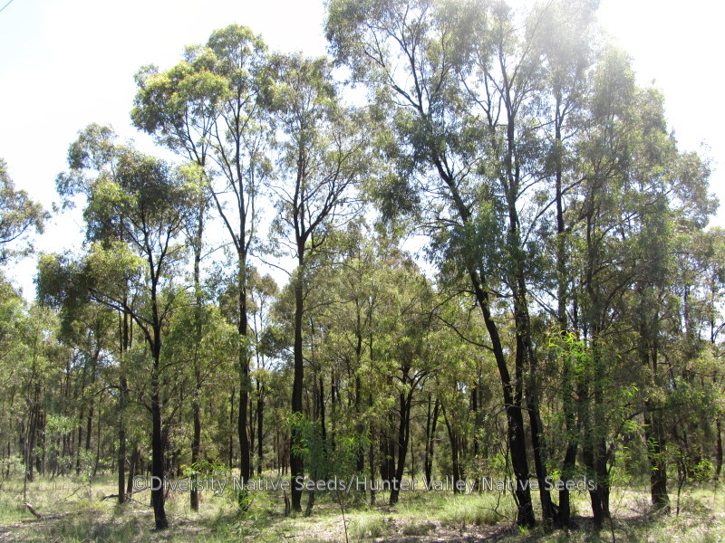 Eucalyptus crebra. narrow-leaved ironbark - Diversity ...