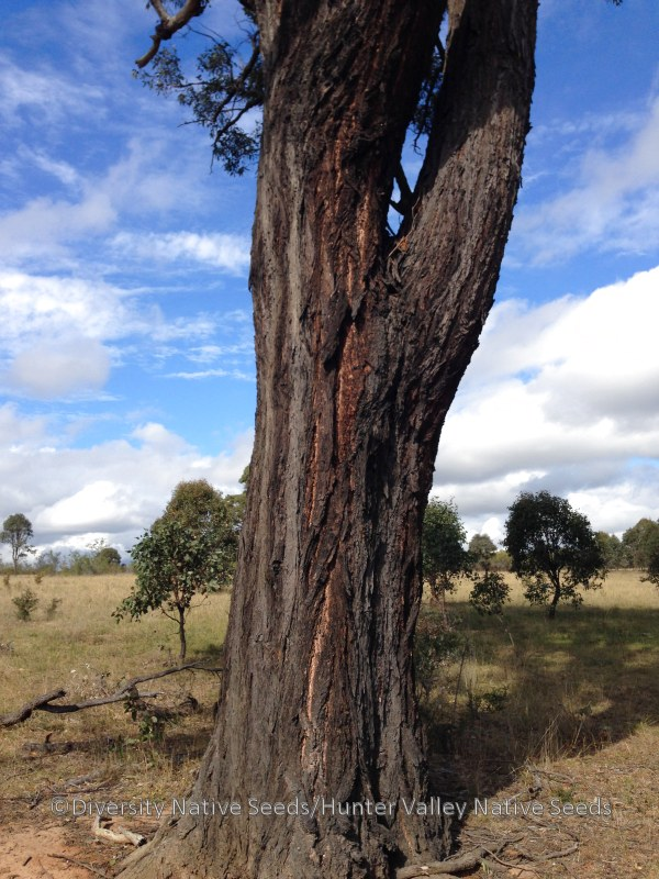 Eucalyptus fibrosa. broad-leaved ironbark - Diversity ...