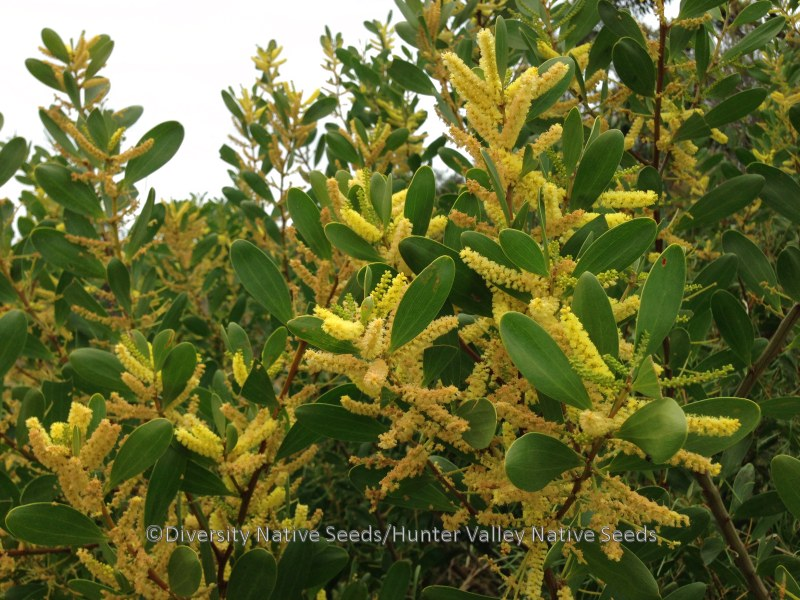 Acacia Sophorae Coast Wattle Diversity Native Seeds