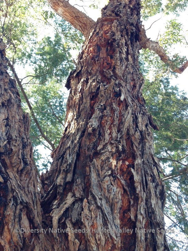 Eucalyptus botryoides. southern mahogany - Diversity ...