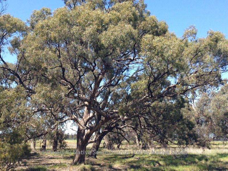 eucalyptus largiflorens black box diversity native seeds. Black Bedroom Furniture Sets. Home Design Ideas