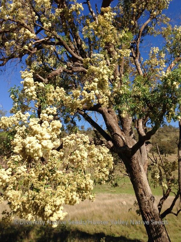 Angophora Floribunda Rough Barked Apple Diversity