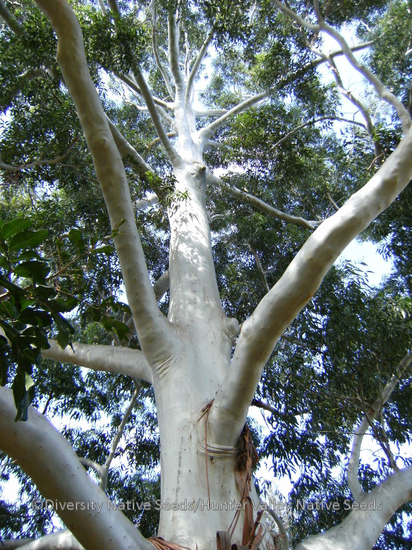 Eucalyptus saligna. Sydney blue gum - Diversity Native Seeds