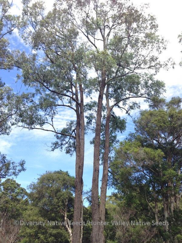 Eucalyptus paniculata. grey ironbark - Diversity Native Seeds