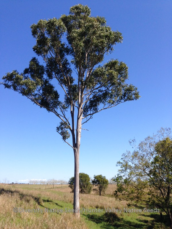 diversity and distribution of eucalyptus essay Diversity and potential impact of botryosphaeriaceae species associated with eucalyptus diversity and distribution of ris papers.