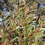 Acacia Obtusifolia Blunt Leaf Wattle Diversity Native Seeds